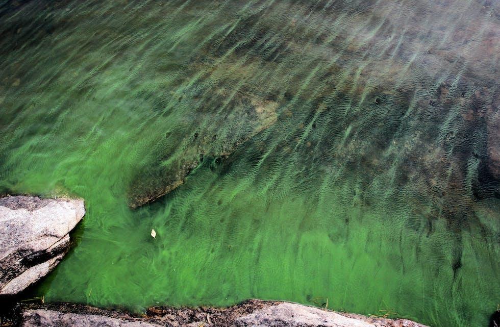 blågrønalgar cyanobakteriar